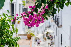Bougainvillea Royalty Free Stock Images