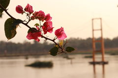 Bougainvillea in sunset. Thai pink bougainvillea in sunset on beautiful view Stock Photo
