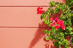 Bougainvillea on a Terra Cotta Wall Outdoor Stock Photography