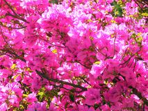Bougainvillea texture Royalty Free Stock Image