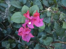 Bougainvillea flower Royalty Free Stock Photos