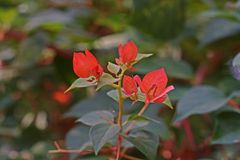 Bougainvillea, thorny ornamental vines, bushes, or trees. Colourful sepallike bracts royalty free stock images