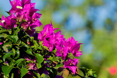 Bougainvillea thorny ornamental vines. Bushes, and trees with flower-like spring leaves near its flowers royalty free stock photo