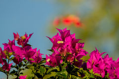 Bougainvillea thorny ornamental vines. Bushes, and trees with flower-like spring leaves near its flowers royalty free stock images