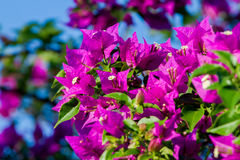 Bougainvillea thorny ornamental vines. Bushes, and trees with flower-like spring leaves near its flowers stock photography