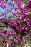 Bougainvillea tree in flower. Photographed in west Africa Stock Images