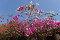 Bougainvillea tree in flower. Photographed in west Africa stock photo