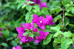 Bougainvillea tree and flowers stock photos