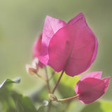 Bougainvillea  tropical plants Royalty Free Stock Photography