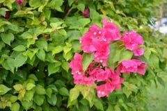 Bougainvillea in tuin Royalty-vrije Stock Afbeelding