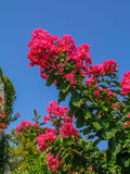 Bougainvillea vermelho Foto de Stock Royalty Free