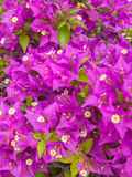 Bougainvillea. Vertical photo of bougainvillea. Image taken in Mexico on April 21, 2009 Royalty Free Stock Image