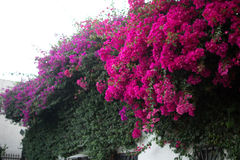 Bougainvillea Vines. Red and Fushica Bougainvillea Vines on the top of a building Royalty Free Stock Image