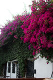 Bougainvillea Vines Stock Photography