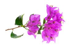 Bougainvillea flowers on white. Bougainvillea violet flowers isolated on white background Stock Images