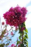 Bougainvillea violeta Imágenes de archivo libres de regalías