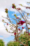 Bougainvillea violeta Foto de archivo