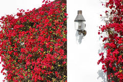 Bougainvillea Wall Royalty Free Stock Photo