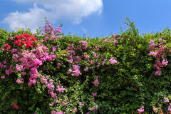 Bougainvillea wall. Royalty Free Stock Images