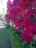 Bougainvillea Wall Stock Images