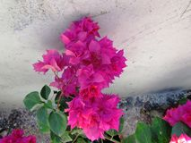 Bougainvillea on wall Stock Photography