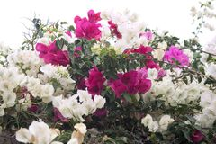 Bougainvillea white and pink b Stock Photos