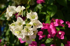 Bougainvillea. White and pink bougainvillea Flowers, Nongsang, Thailand Stock Image