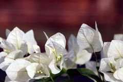 Bougainvillea White. Plant Type: Vine Evergreen-Deciduous: Evergreen Overall Mature Size: Large Also Grown As: Staked Mature Height & Spread : vine to 15-30` royalty free stock photos