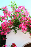 Bougainvillea on the white wall Stock Photography