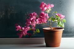 Bougainvillea on the window Royalty Free Stock Images