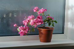 Bougainvillea on the window Stock Image