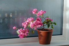 Bougainvillea on the window Royalty Free Stock Photography