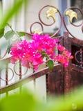 bougainvillea on yard gate stock photos