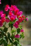 Bougainvilleabloem Royalty-vrije Stock Fotografie