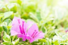 Bougainvilleabloem, roze bloemenbloei in de zonneschijn Royalty-vrije Stock Afbeelding