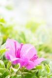 Bougainvilleabloem, roze bloemenbloei in de zonneschijn Royalty-vrije Stock Foto