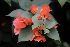 Bougainvilleabloemen stock foto's