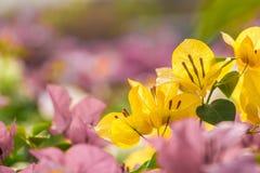 Bougainvilleabloemen Stock Afbeeldingen