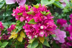 Bougainvilleabloemen Royalty-vrije Stock Foto