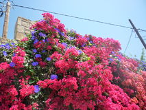 Bougainvilleabloemen Pefkos Pefki Rhodes Greek Islands Greece Royalty-vrije Stock Afbeeldingen