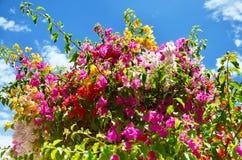 Bougainvilleablomma Royaltyfria Bilder
