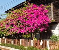 Bougainvilleablommor är färgrika i hem- trädgård royaltyfri foto