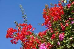 bougainvilleablommor Fotografering för Bildbyråer