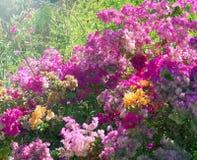 Bougainvilleablommor Royaltyfri Foto