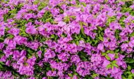Bougainvilleablommor Royaltyfria Bilder