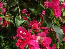 bougainvilleablommor för varma rosa färger Arkivbilder