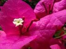 bougainvilleablommor för varma rosa färger Royaltyfri Fotografi