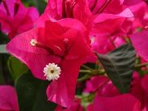 bougainvilleablommor för varma rosa färger Arkivfoto