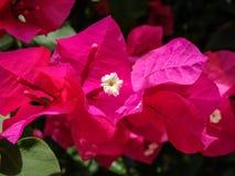 bougainvilleablommor för varma rosa färger Fotografering för Bildbyråer