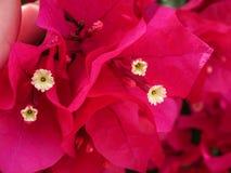 bougainvilleablommor för varma rosa färger Royaltyfri Bild